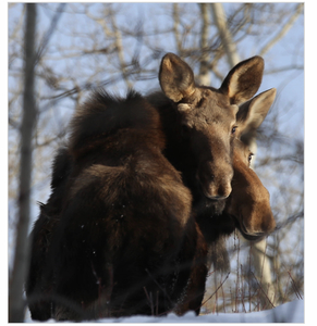 Stop cow moose and calf culling.