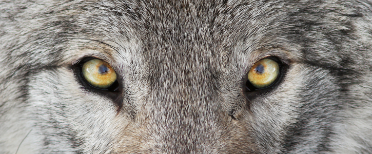 Keep Gray Wolves from Slaughter!