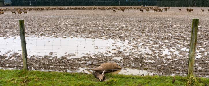 Animals in mud during intensive winter grazing on a Pāmu / Landcorp farm in Southland in Sept 2020