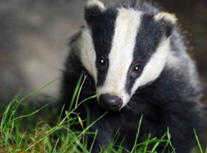 Tell Poots to stop the badger Cull
