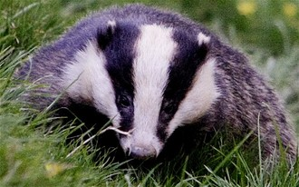 A no  badger cull policy on Dover District council land