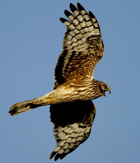 stop the birds of prey being poisoned and shot by game keepers