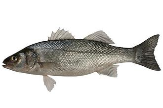 Save our Sea Bass