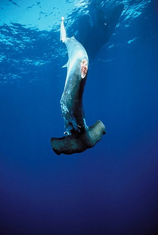 Urge Minister Burke to introduce legislation to ban  sale, possession and consumption of Sharks Fin