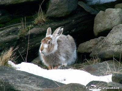Protect the mountain hare!