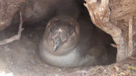 Save the Penguins of Lipson Island!